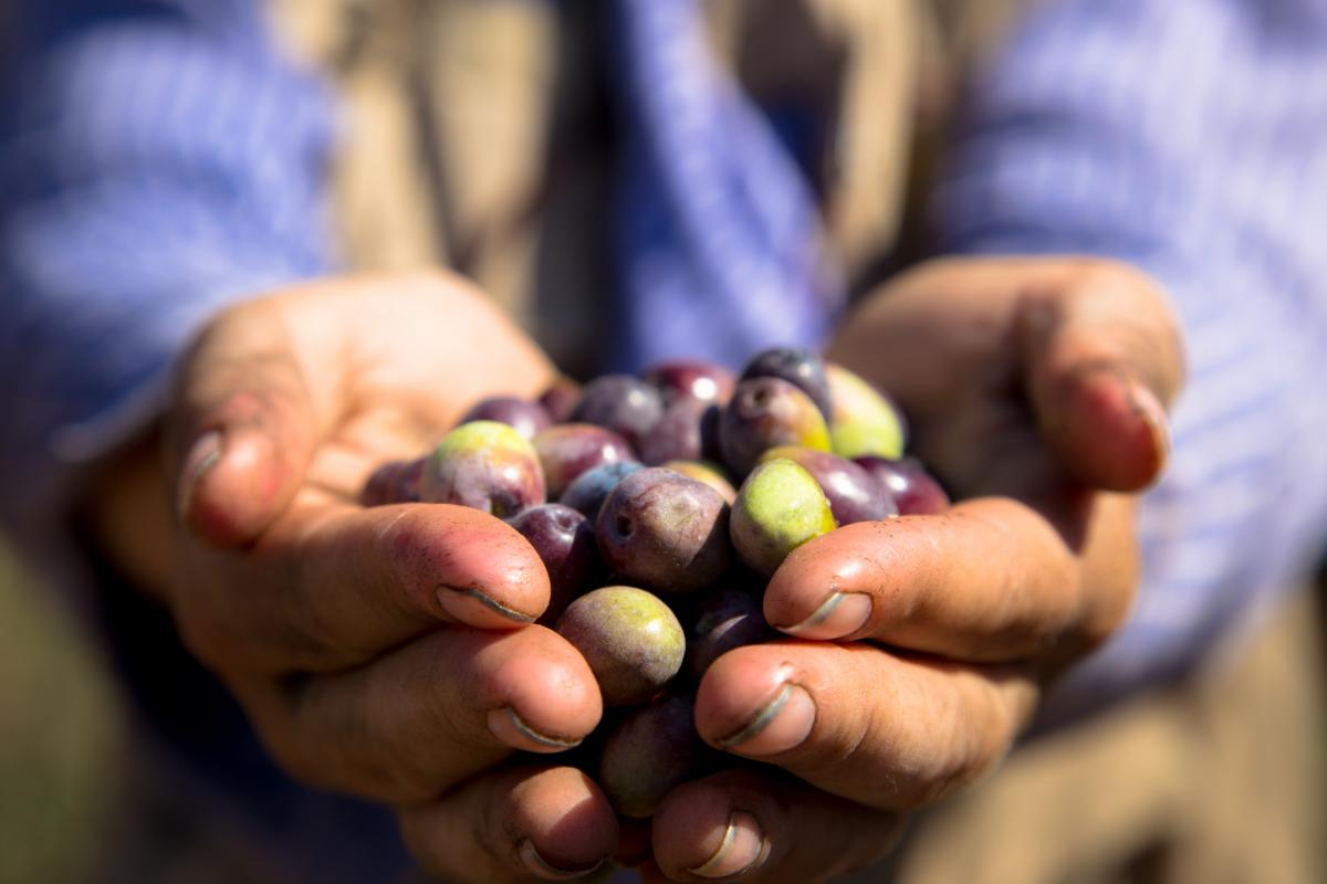 24-10-2017, Ramallah, Silwad, a handful of olives, EAPPI-RJ.jpg