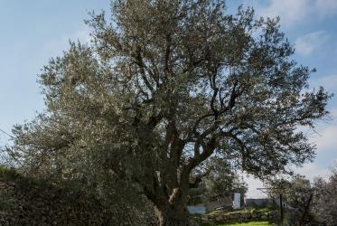 Large olive tree in Palestine
