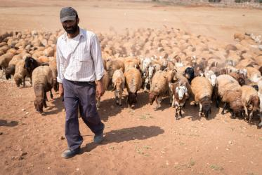 Shepherd herds his sheep in the Jordan Valley on the West Bank. Photo: Albin Hillert/WCC
